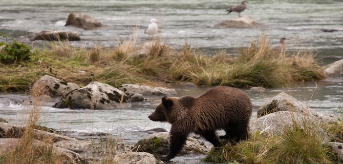 Alaska tours to watch grizzly bears