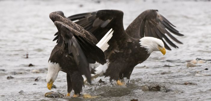 Watching Bald Eagles can be the one of the best things to do in Alaska