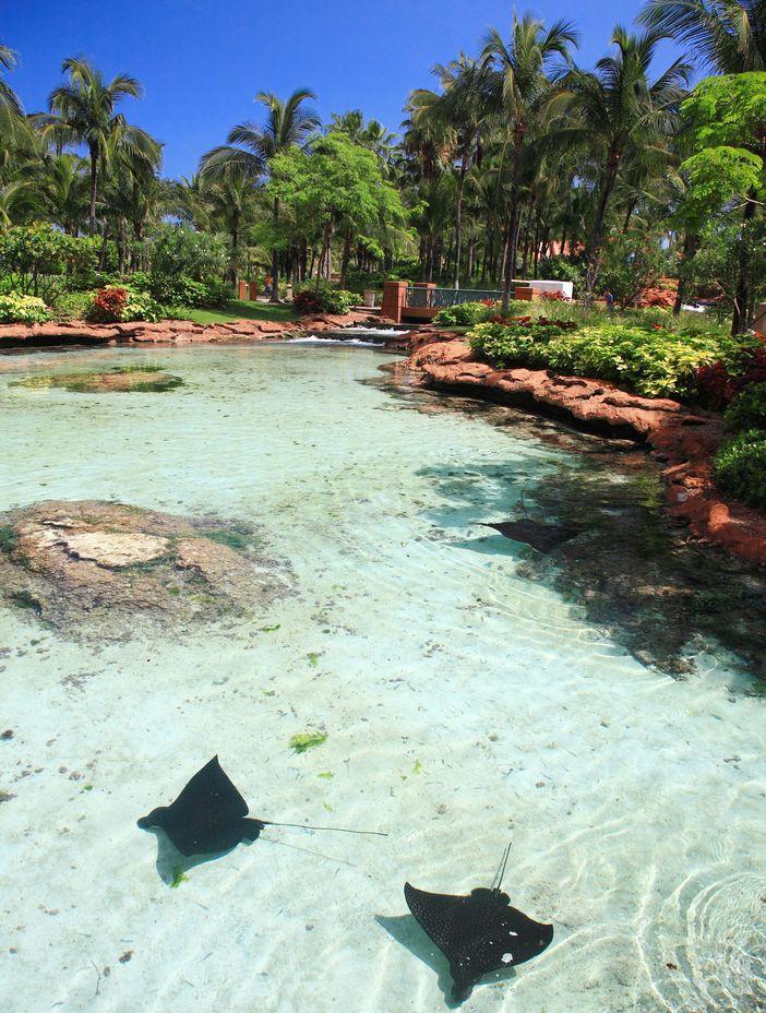 Atlantis' stingrays