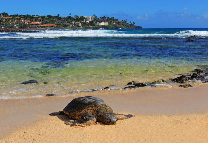 Green Sea Turtle at Poipu beach, Kauai, Hawaii