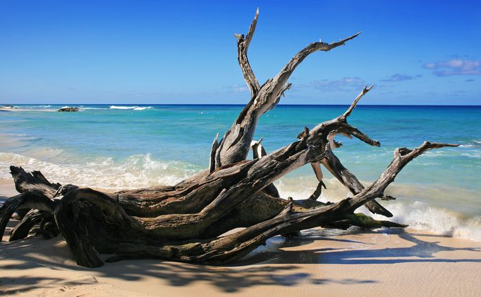 Fallen and decaying tree on Barbados beach