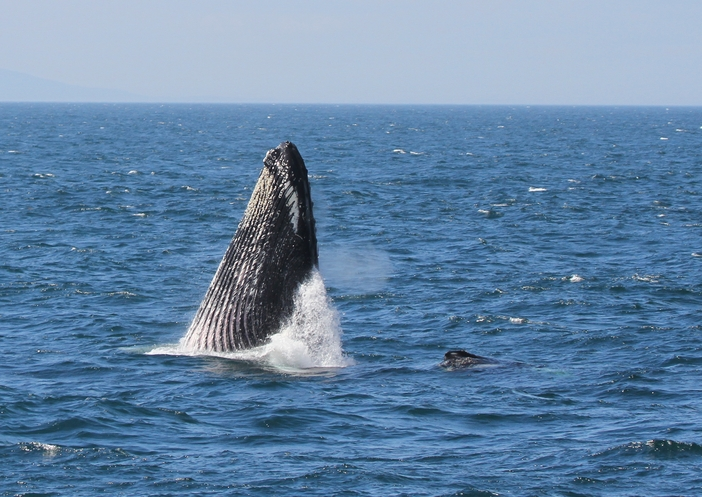 Great tours in Bar Harbor: Watching humpback whales
