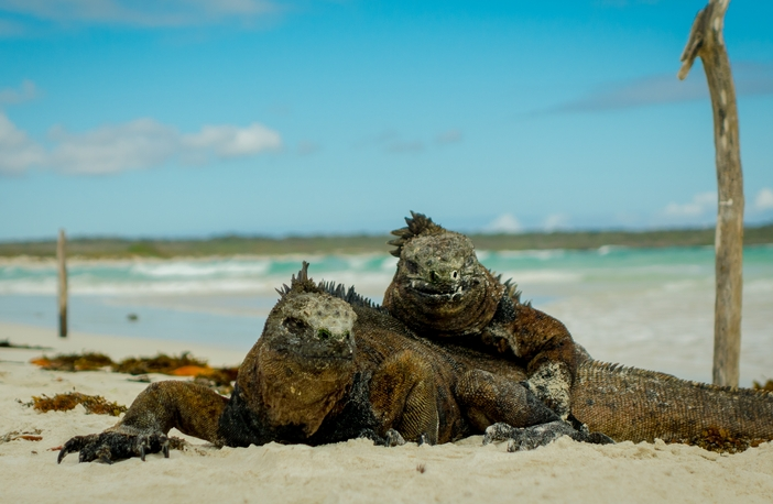 Galapagos wildlife: iguanas on the beach