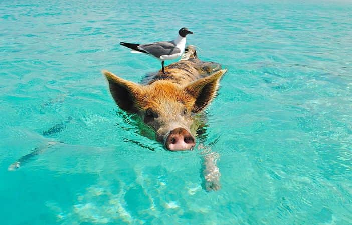 A Swimming Pig in the Bahamas
